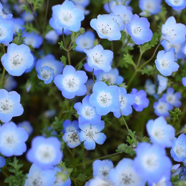 High Angle View Of Blue Forget-Me-Not Flowers Blooming At Park
