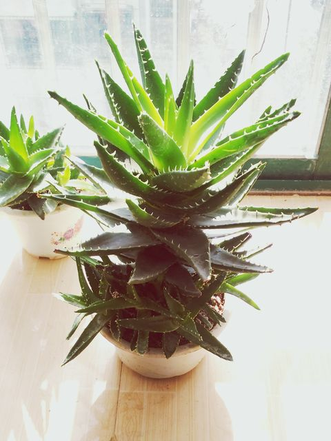 high angle view of potted aloe vera plant on floorboard at home