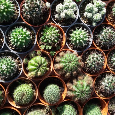 Christmas Cactus Problems.Column Cactus