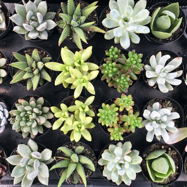 High angle view of potted succulents of different varieties for sale
