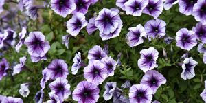 High Angle View Of Purple Petunias Blooming Outdoors