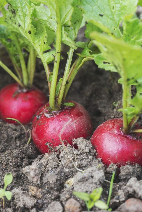 high angle view of radish growing in garden