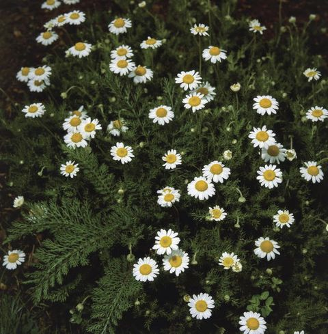 High angle view of Roman camomile flowers (Anthemis nobilis)