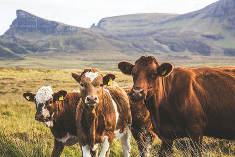 highland cattles 2021, 2021牛年, 2021牛年運勢, happy牛year, ptt, 拿紅包, 新年快樂, 新年祝賀詞, 牛年, 牛年吉祥話, 牛的吉祥話, 牛的諧音梗, 諧音梗, 過年