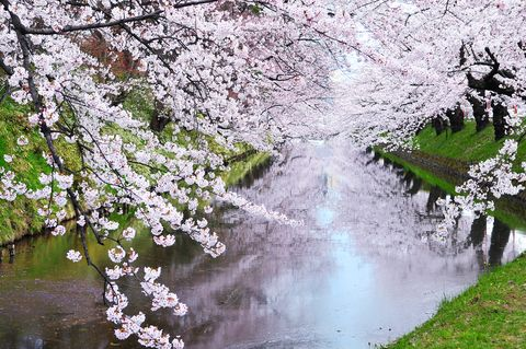 Flower, Nature, Water, Blossom, Spring, Cherry blossom, Plant, Tree, Watercourse, Reflection,