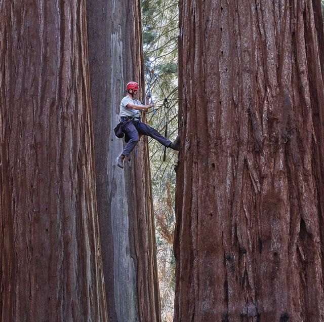 anthony ambrose, phd, 50, south lake tahoe, california, redwood climber