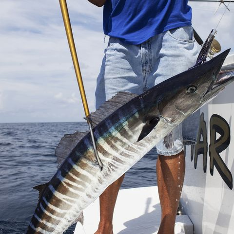 a line caught fish being pulled onto a fishing boat with a spear by a crew member