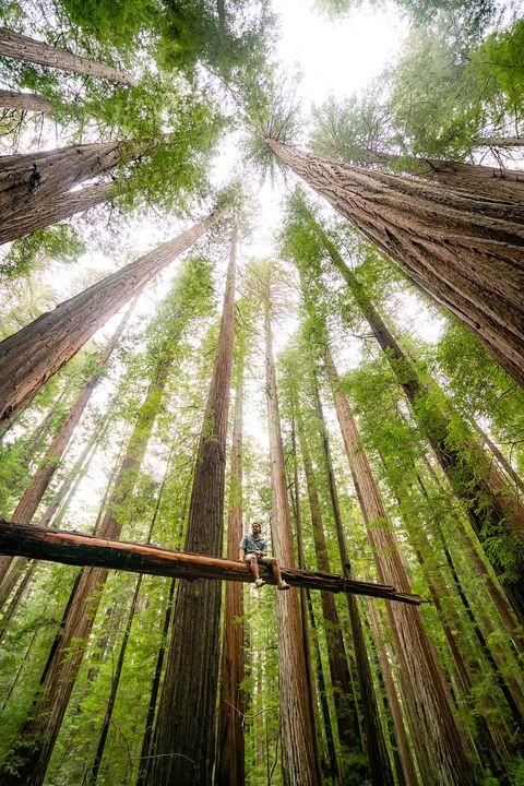 man sitting among giant redwood trees