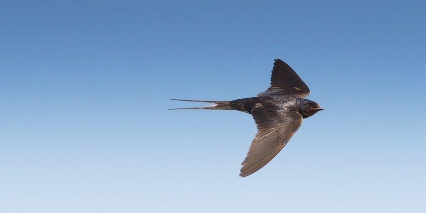 snelheid-vogels-vliegen