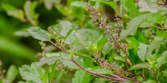 holy basil or tulsi plant