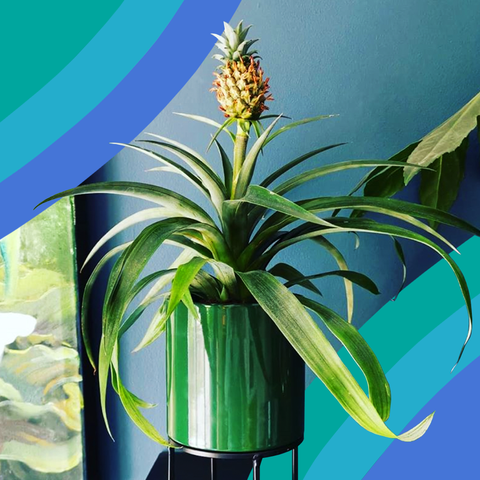 home depot pineapple plant