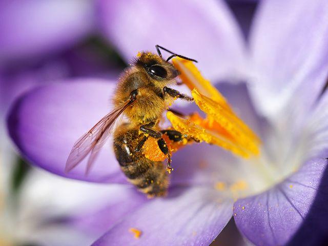 honey bee on a purple crocus