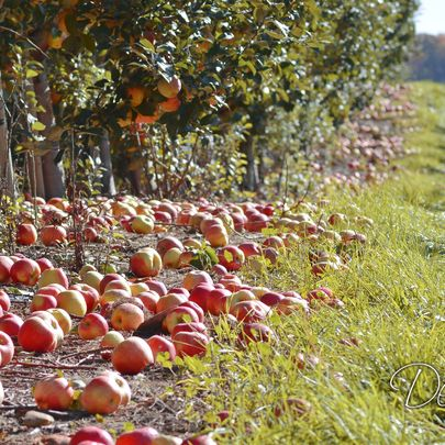 honeycrisp apples on the ground in an orchard