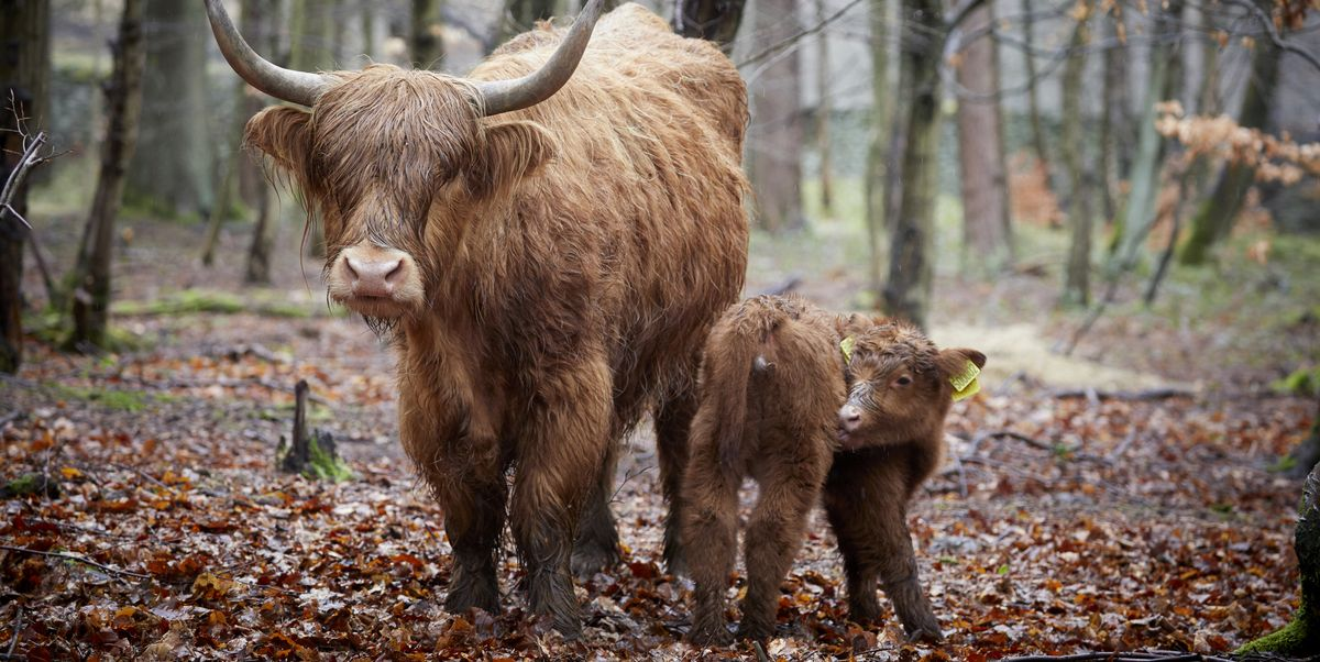 National Trust names newborn Highland calf 'Hope' to spread some well-timed joy