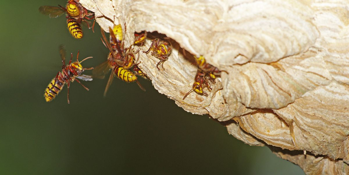 The Safest Way to Get Rid of Hornets Near Your House, According to Experts