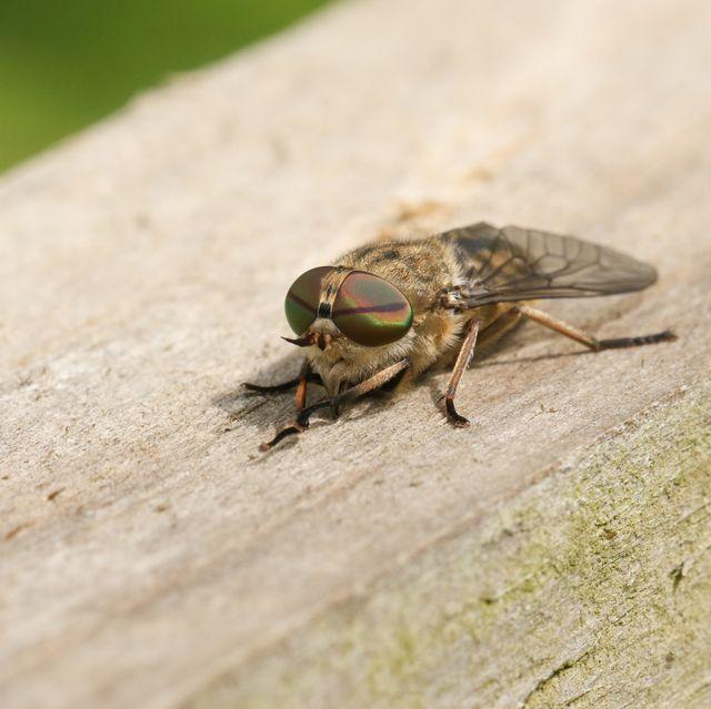 horsefly bites