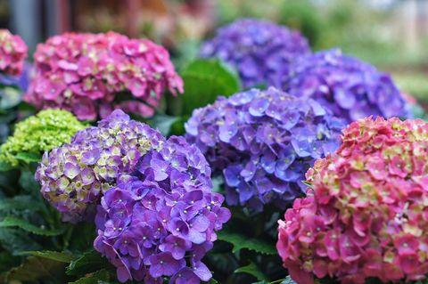 hortensias en el jardín