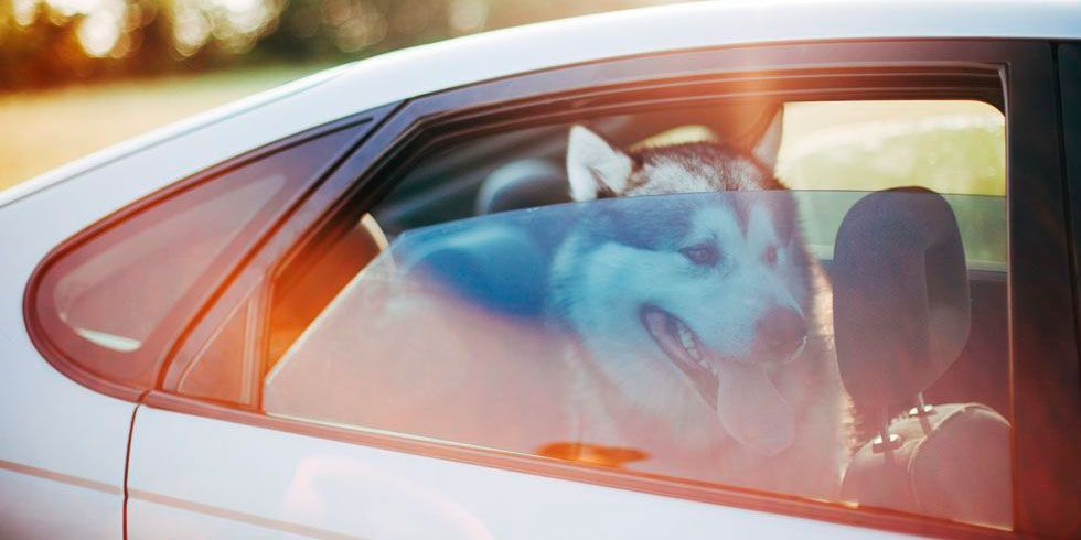 dog in hot car