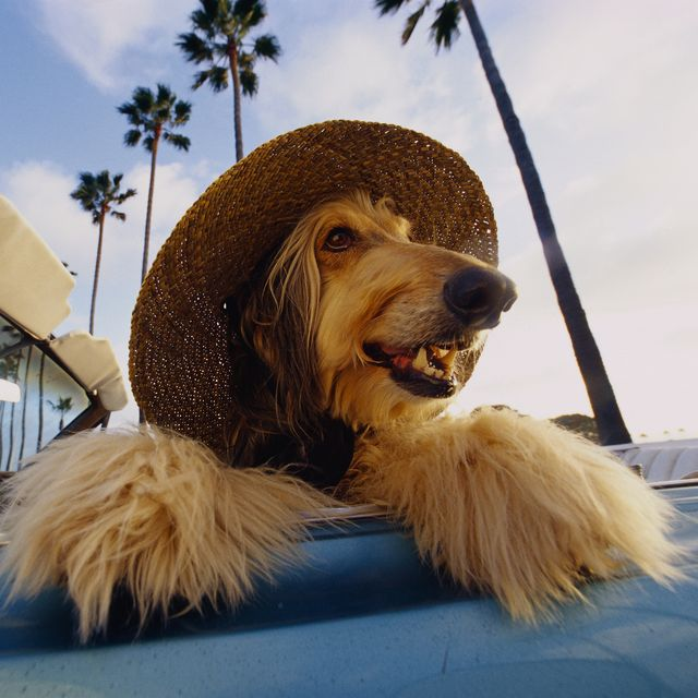 Dog Wearing a Hat Sitting in Car
