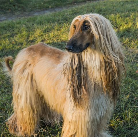 hot weather dogs - afghan hound