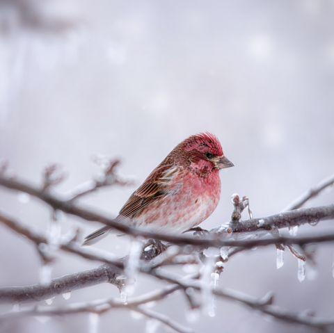how birds stay warm in the winterHouse Finch