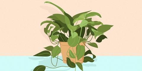 Golden Pothos Is the Best Indoor Houseplant to Grow Because ... on