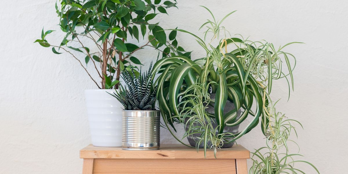 air purifying houseplants to cleanse the air in your home naturally indoor plants. Black Bedroom Furniture Sets. Home Design Ideas