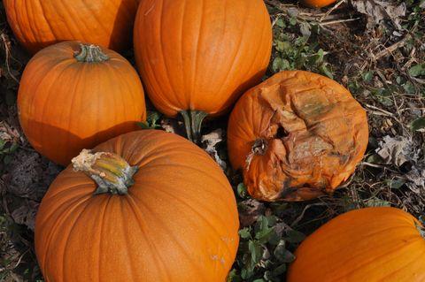 how long do pumpkins last
