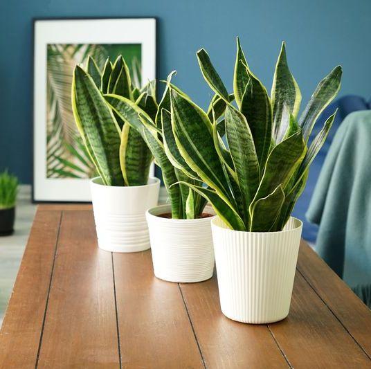 snake plant care tips