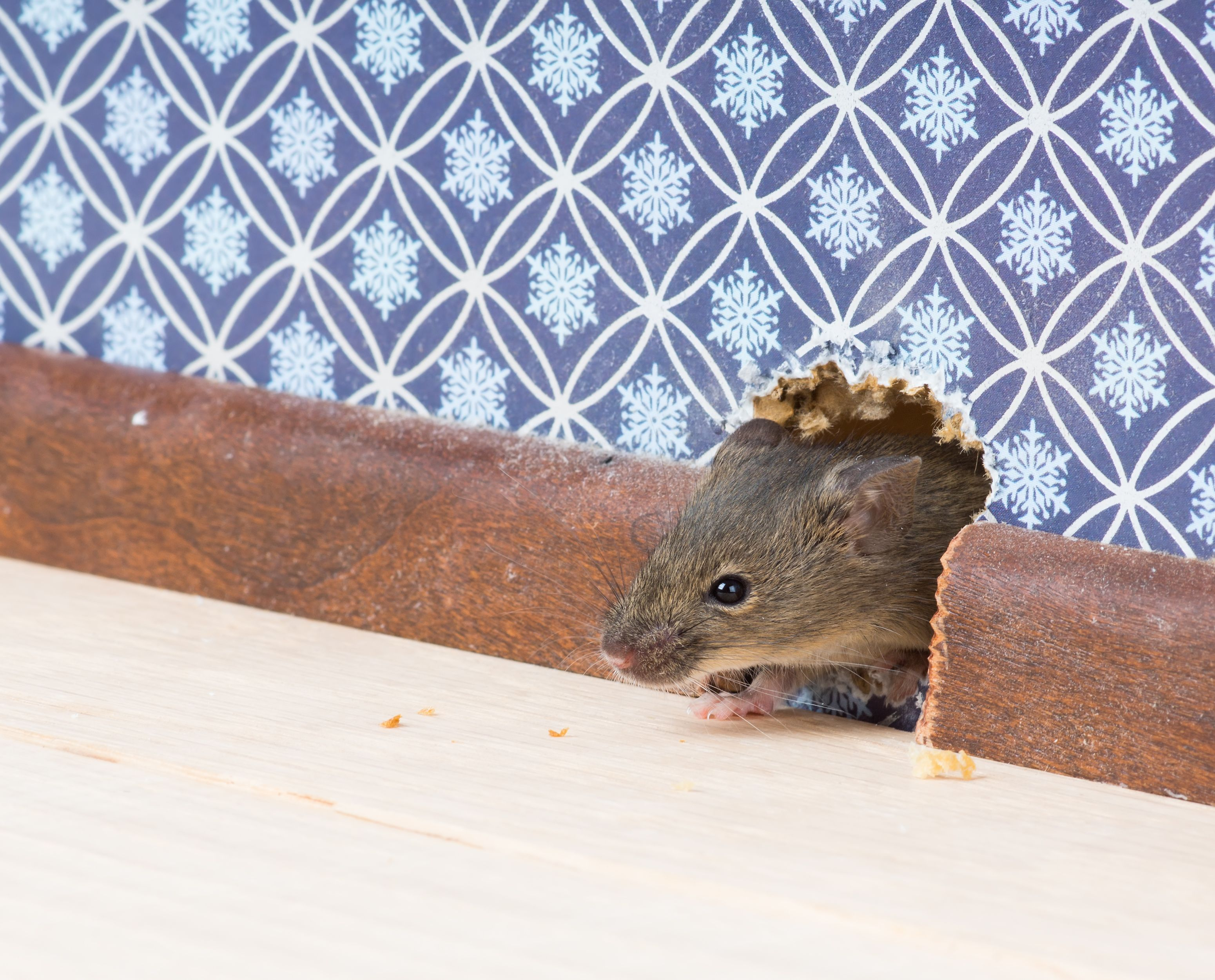 Learn How to Catch a Mouse and Keep Mice Out of Your Home with These Tips