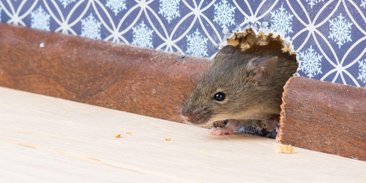 10 Tips Ampuh Mengusir Tikus Secara Alami