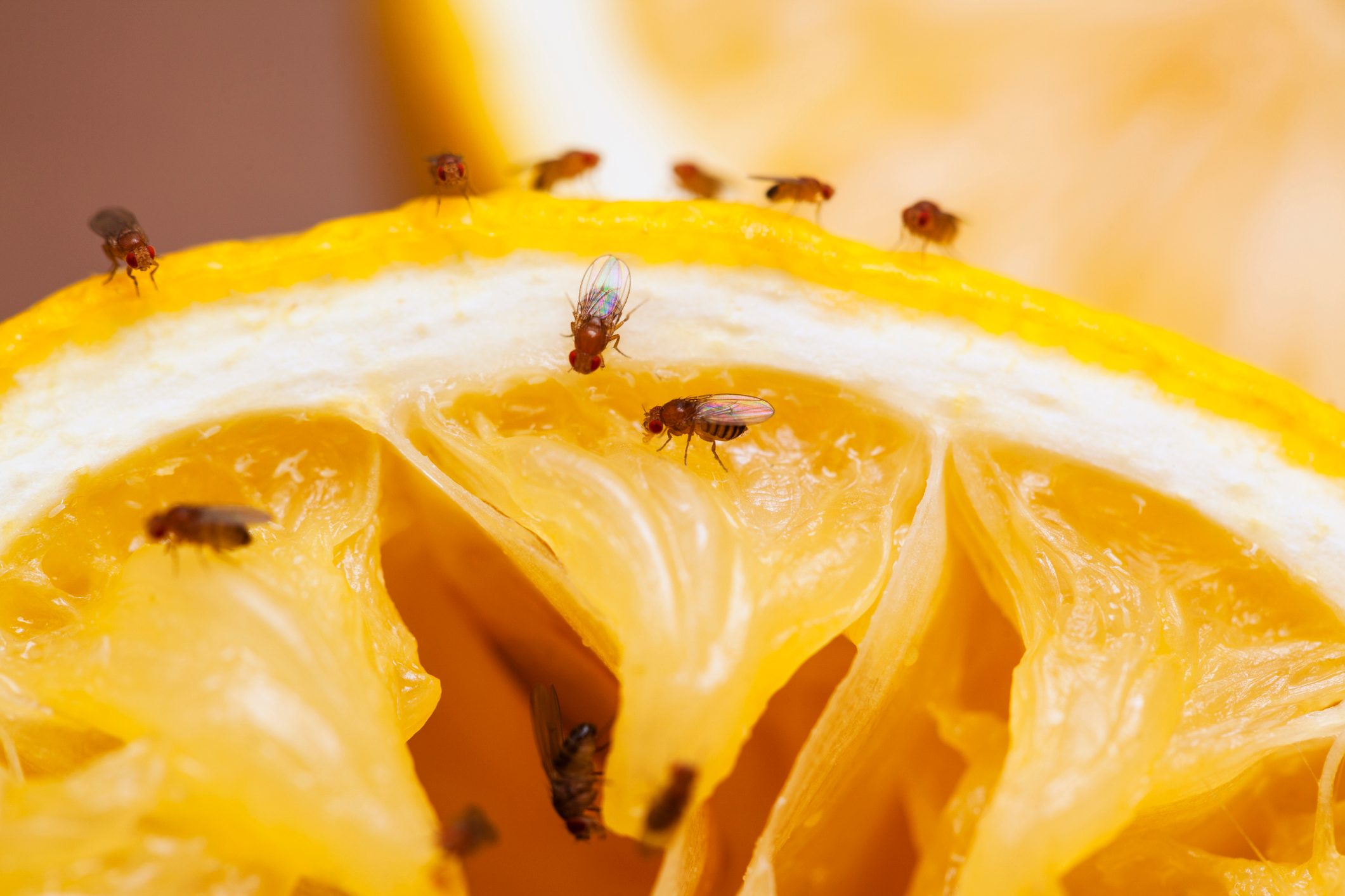 7 Best Ways Get Rid of Fruit Flies in Your House, According to Bug Experts