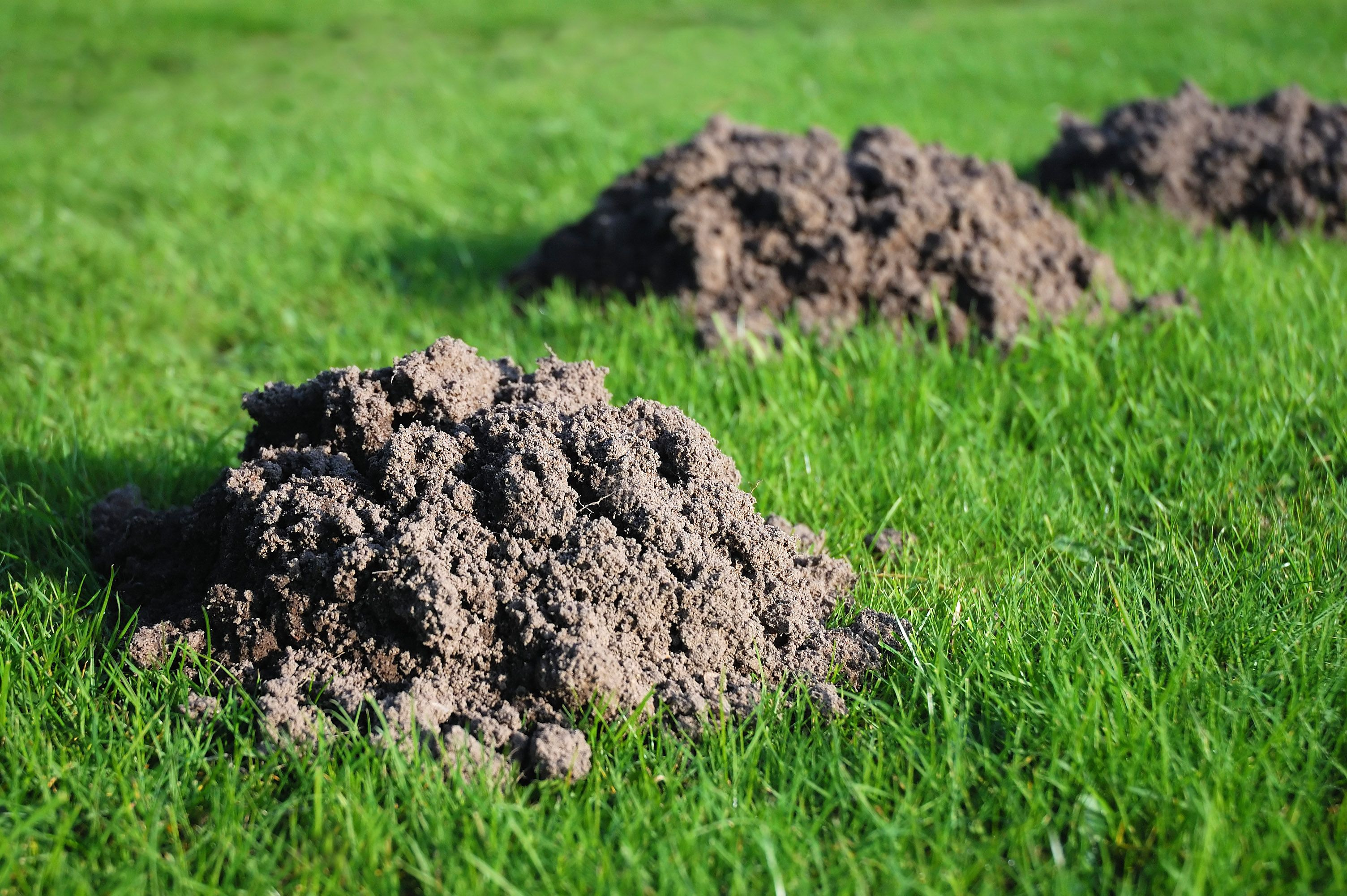 How to Get Rid of Those Pesky Moles in Your Yard