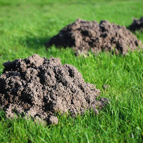 How To Get Rid Of Moles In Yard Eradicating Moles From Garden