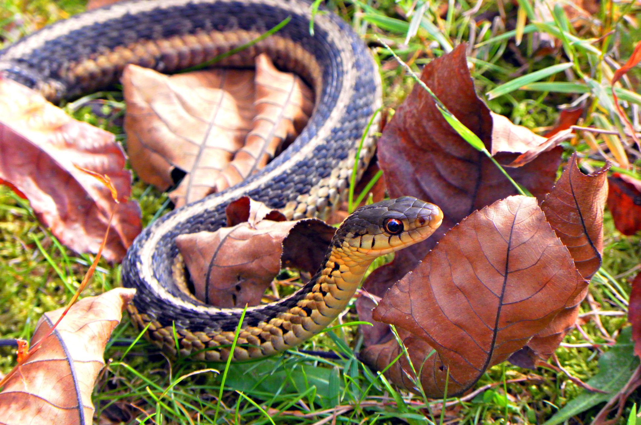 How to Get Rid of Snakes, From Copperhead to Garden