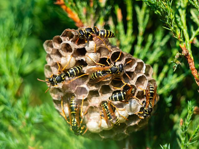 closeup image of wasp's nest with common wasps on green bush in a forest on a sunny day