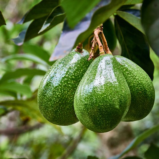 how to grow avocado at home 3 simple methods to try