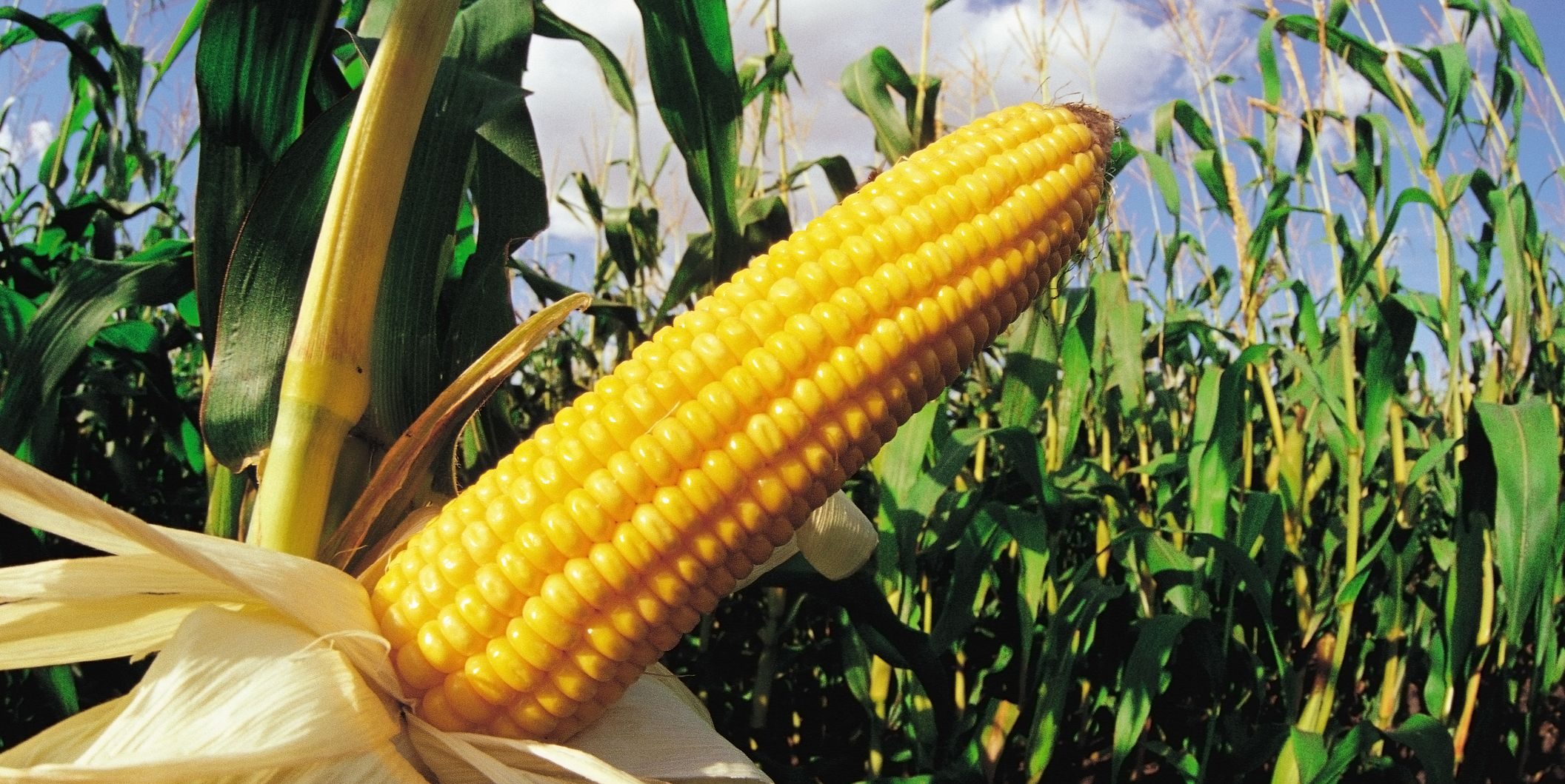 Image result for grow more corn