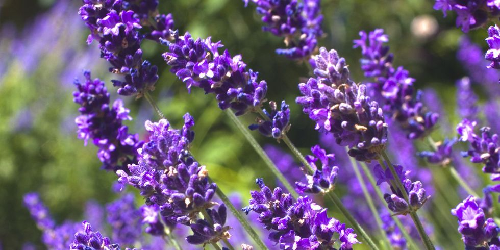 How to grow lavender, according to an expert