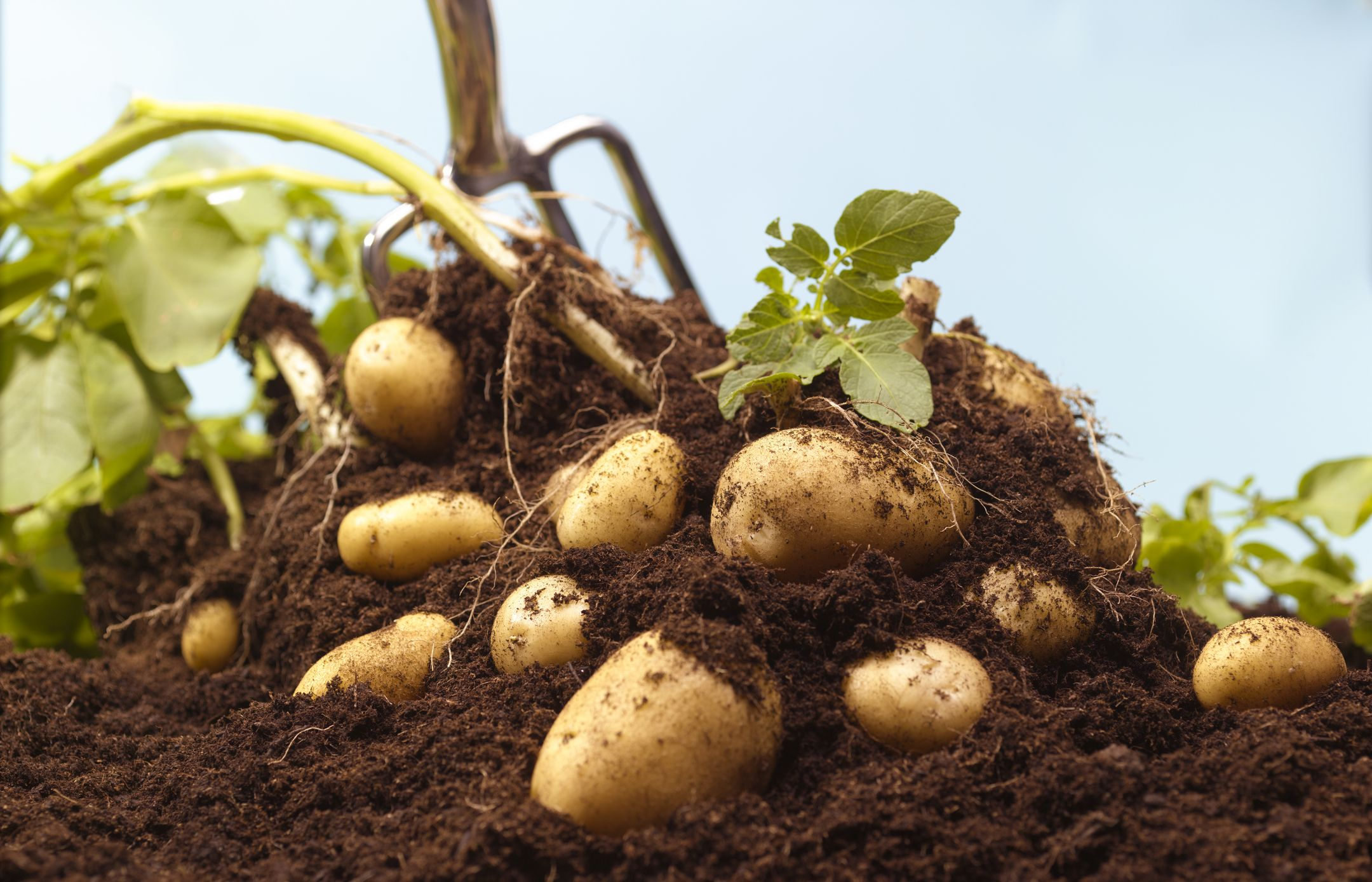 How to Grow Potatoes - Growing Potatoes