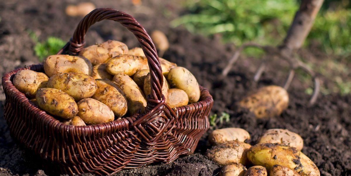7 Ways to Grow Potatoes at Home