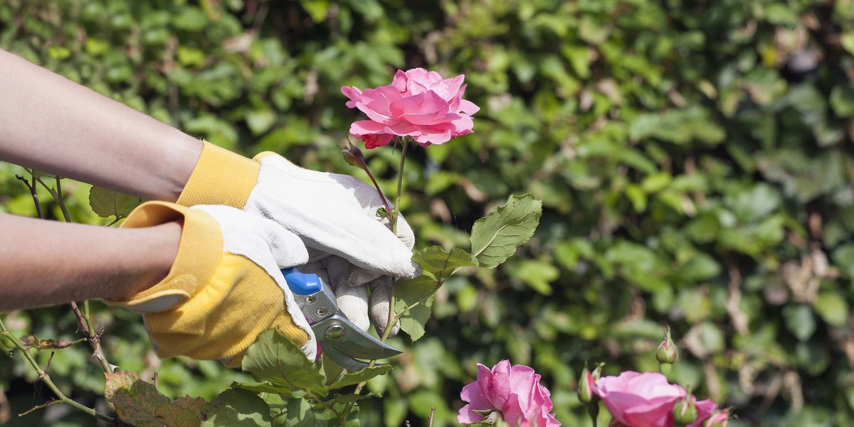 How to Grow Roses from Cuttings - Best Way to Propagate Roses