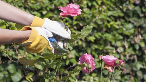 Grow roses from a cutting