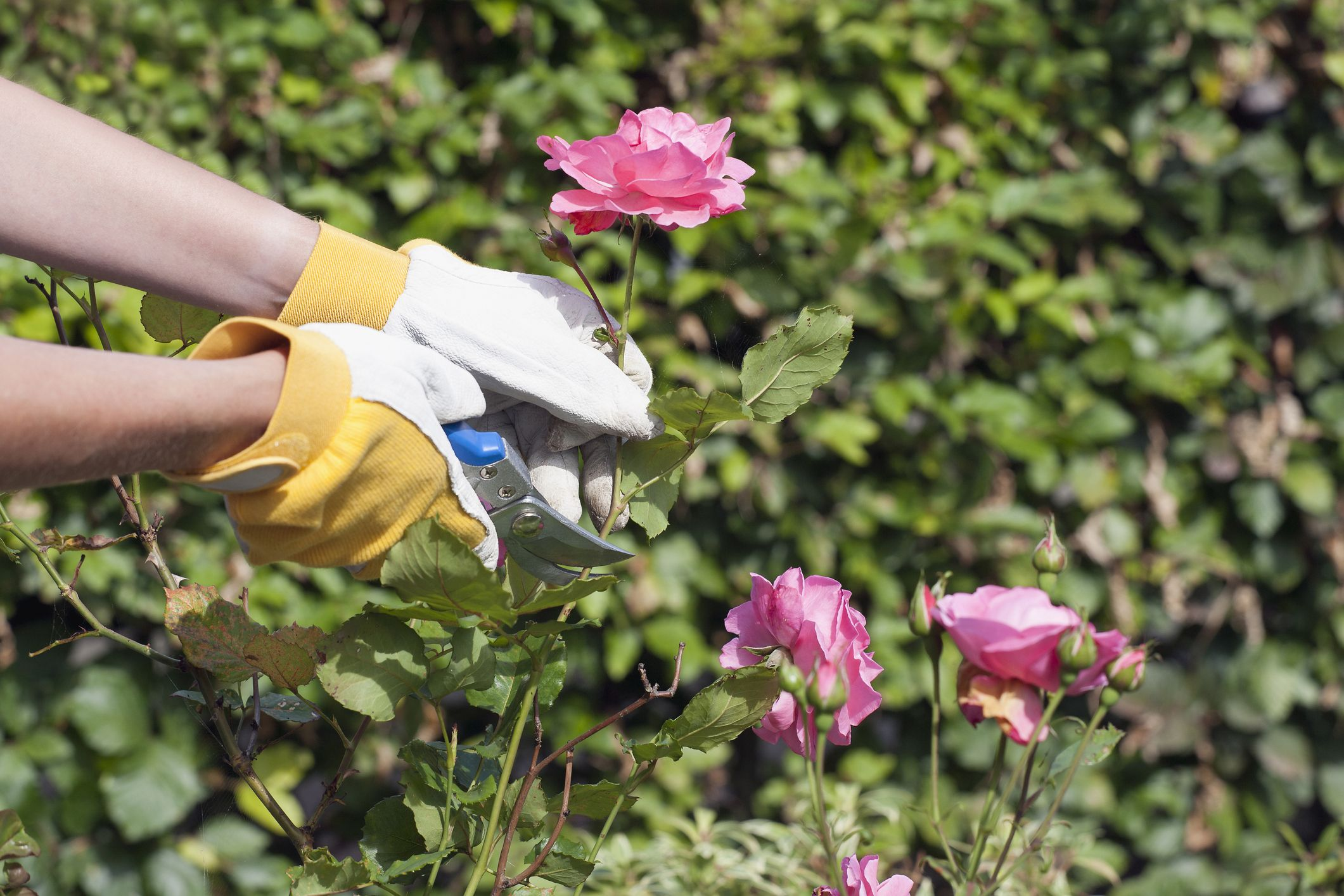 How To Grow Roses From Cuttings Best Way To Propagate Roses