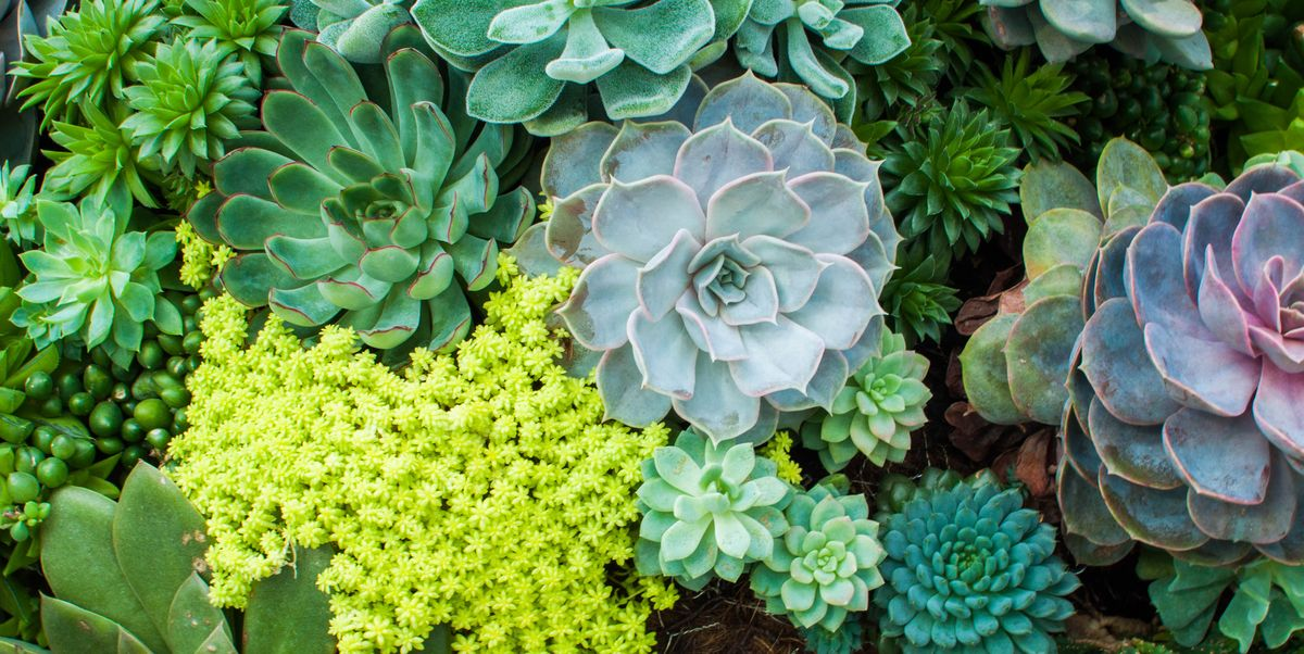 How to Care for Succulents - Tips for Growing Succulents Indoors