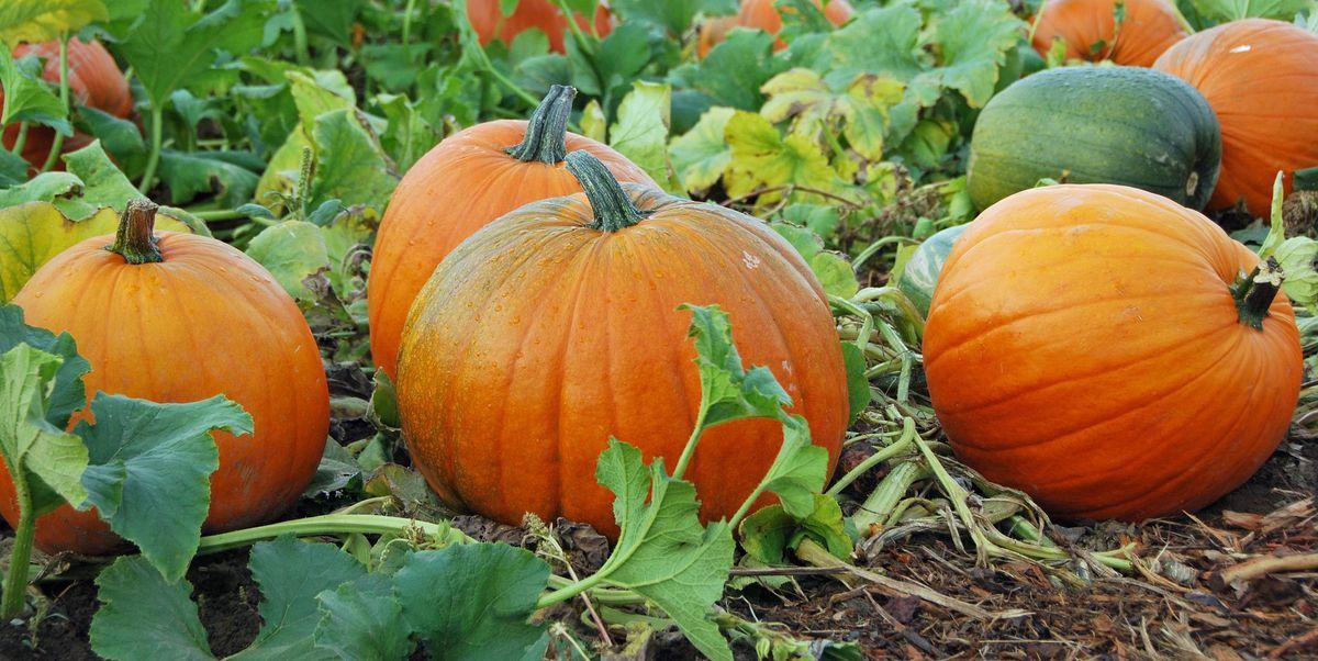 How to Keep Pumpkins from Rotting - Make Pumpkins Last Longer