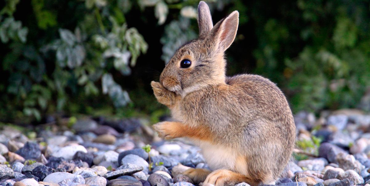 How to keep rabbits out of garden 5 best rabbit repellents - How to keep rabbits out of a garden ...