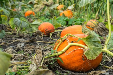 How to Keep Pumpkins From Rotting - Preserving a Carved Pumpkin