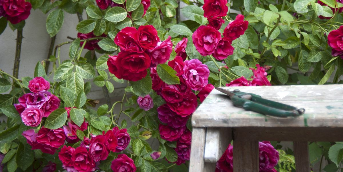 How To Prune Roses Best Ways To Cut Back Flowers