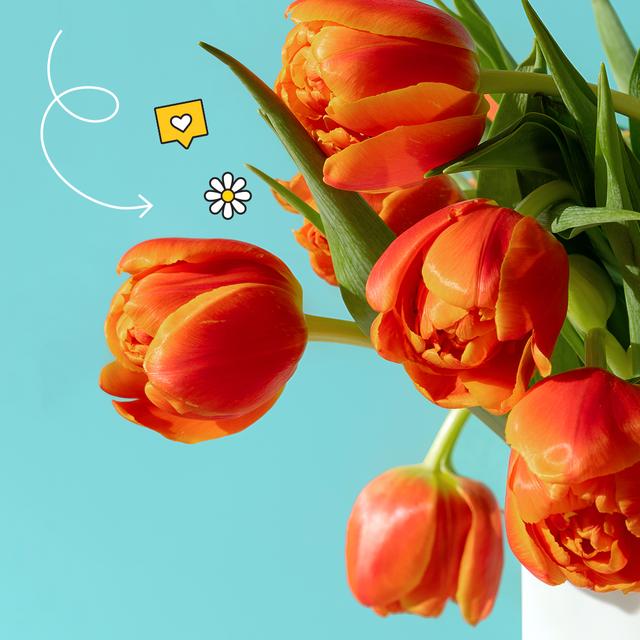 orange tulips on a blue background